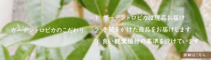 植物は一つひとつが自然の芸術品。 【ガーデントロピカ】は一点もの主義のお店です。ガーデントロピカのこだわり:1.ガーデントロピカは現品お届け 2.手間をかけた商品をお届けします 3.良い観葉植物の基準を設けています