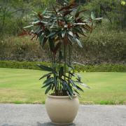 クテナンテ・クメリアーナ 10号サイズ 大型観葉植物の販売・通販【大きな観葉植物専門店 ガーデントロピカ】