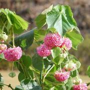 ドンベア10号 販売・通販【大きい観葉植物専門店ガーデントロピカ】