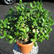 クラッスラ花ナシ 大型観葉植物販売・通販【大きな観葉植物専門店ガーデントロピカ】