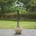 パキラ'ホワイト タク' 10号サイズ  大型観葉植物の販売・通販【大きな観葉植物専門店 ガーデントロピカ】