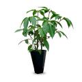 ツピダンサス 大型観葉植物の販売・通販【大きな観葉植物専門店 ガーデントロピカ】