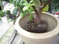 観葉植物を陶器鉢カバーに植替えます