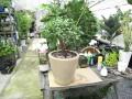 観葉植物を植替えました